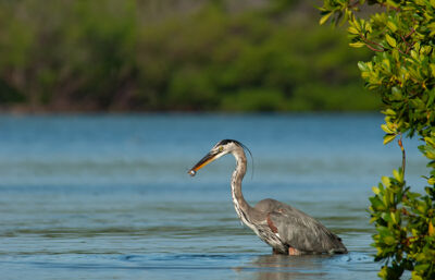 Great blue heron feeding in green mangroves in Estero Bay, Florida